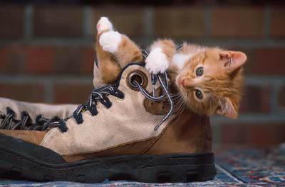 Kitten_in_Shoe